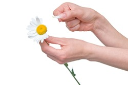 loves or not loves me, plucking off the petals of a camomile