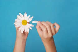 Loves or not loves me, plucking off the petals of a camomile. Human hands tear on a petal from a head of daisies on a blue background, top view.