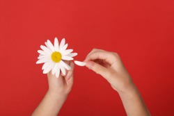 Loves or not loves me, plucking off the petals of a camomile. Human hands tear on a petal from a head of daisies on a red background, top view.