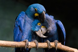 Loving Blue Hyacinth macaws sitting on the branch. Animal love.