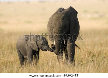 Loving Elephant mother and calf