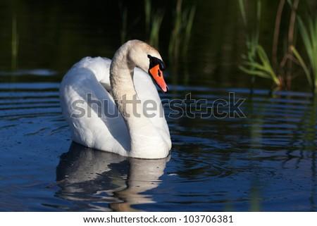 loving swan