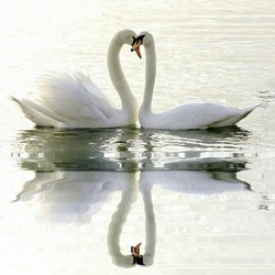 Loving Swans