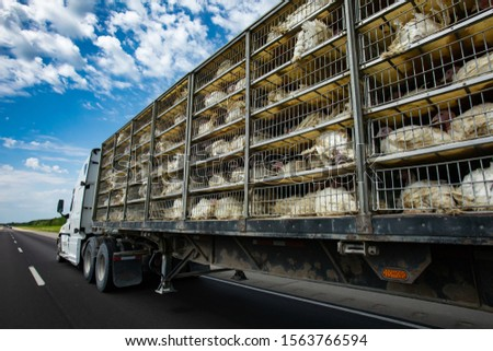 low angle and rear view of a transportation turkey truck on the roads, lot of white turkeys in cages, The process of transporting poultry from the farm to the slaughterhouse concept. #1563766594