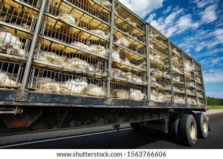 low angle and side view of a transportation turkey truck on the roads, lot of white turkeys in cages, The process of transporting poultry from the farm to the slaughterhouse concept. #1563766606