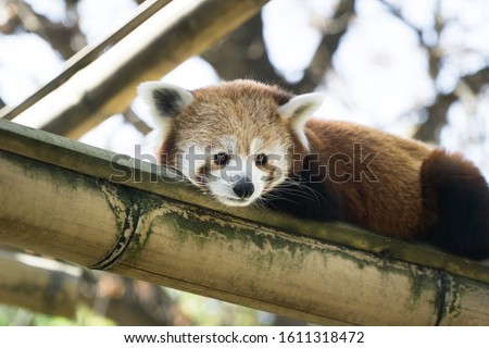 Low angle close up over a lovely and cute red panda, laying on its bamboo branche. Tree branches and nature  in background, Paris zoo, France.