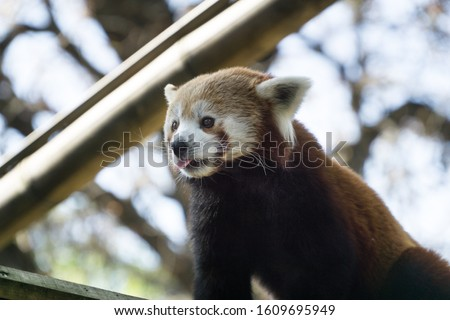 Low angle close up over a lovely and cute red panda up on its bamboo branche, looking in front of him while putting his little pink tongue out. Tree branches in background, Paris zoo, France.