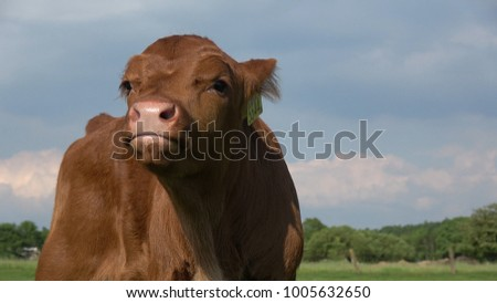 Low angle close up photo of young and cute calf Aberdeen Angus cattle this livestock in most parts of the world are a breed of cattle commonly used in beef production