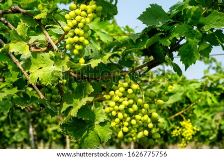 Low angle close up view showing bunches of fresh green raw grape fruits grow hanging with blue sky in background  in a farm near Nashik, Maharashtra, India