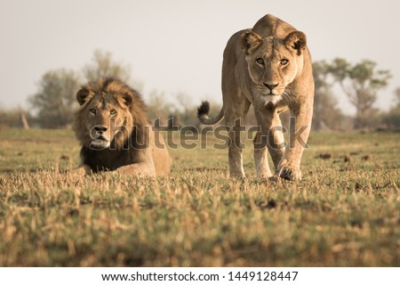Low angle front shot of stalking lioness coming straight for the camera with male lion in the back