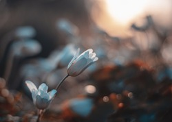 Low angle macro of white wood anemone flowers. Shallow depth of field with backlighting and soft focus. Sunset background