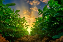 low angle of peanuts plantation in countryside at evening with sunshine, industrial agriculture