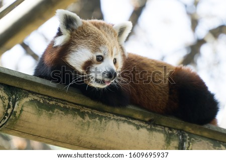 Low angle portrait of a lovely and cute red panda laying on its bamboo branche, looking in front of him while putting his little pink tongue out. Tree branches in background, Paris zoo, France.