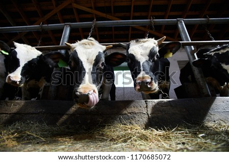 Low angle portrait of two cows looking at camera while eating hay in cowshed of dairy farm lit by sunlight