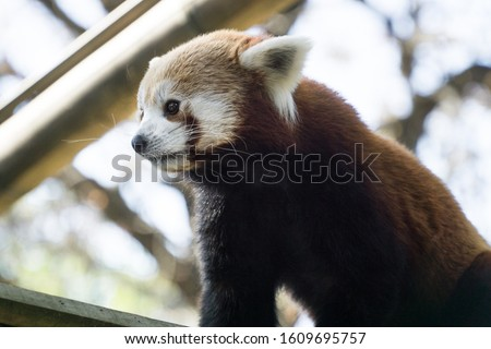 Low angle portrait over a lovely and cute red panda profile, walking on its bamboo branche. Tree branches in background, Paris zoo, France.