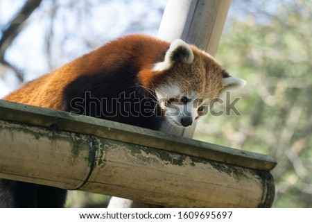 Low angle portrait over a lovely and cute red panda up on its bamboo branche, looking down. Tree branches and nature  in background, Paris zoo, France.