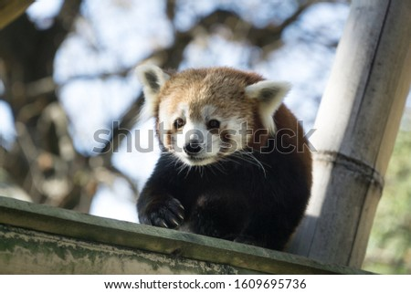 Low angle portrait over a lovely and cute red panda walking on its bamboo branche. Tree branches in background, Paris zoo, France.