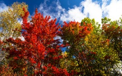 Low angle shot of the trees changing colour on a beautiful, crisp fall morning in Carleton County, New Brunswick, Canada.