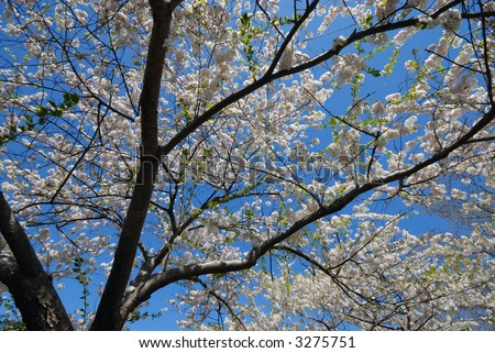 Low angle view of a blooming cherry tree against clear blue sky in a sunny spring day #3275751