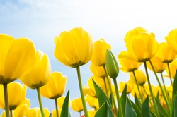 low angle view of a field with beautiful yellow tulips