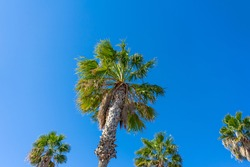Low angle view of a group of tall palm trees with clear blue sky