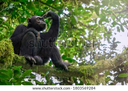 Low angle view of a solitary wild male chimpanzee (Pan troglodytes) sitting on a tree branch in its natural forest habitat in Uganda. Сток-фото ©