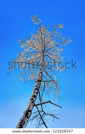 Low angle view of birch tree with snow in sunshine