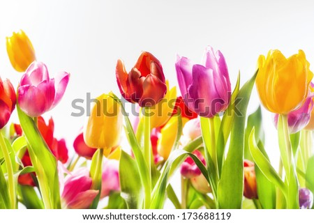 Low angle view of colourful vividly coloured fresh spring tulips in a field in red, yellow and pink with their green leaves forming a beautiful seasonal background