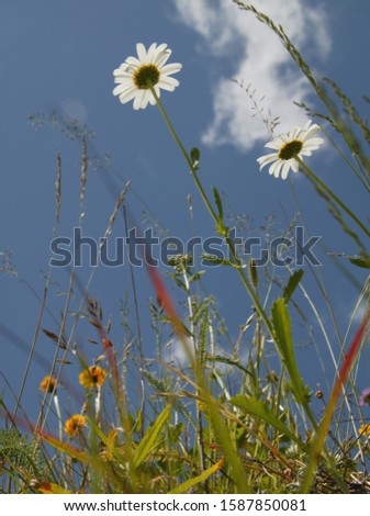 Low angle view of Marguerite daisies