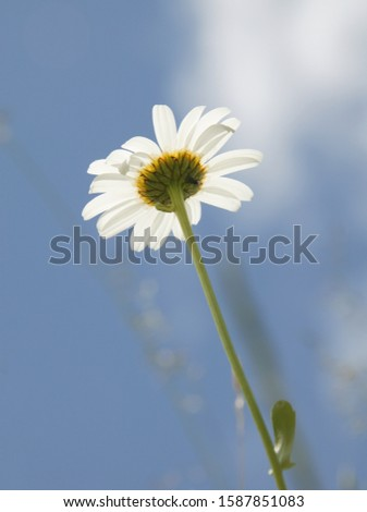 Low angle view of Marguerite daisy