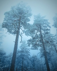 Low angle view of mysterious dark winter forest in moody style. Snowy dense woods in cold tones and dark colors. Winter nature landscape. Blue toning background. Bottom view of tall pine trees. Snow.