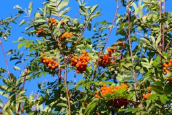 Low angle view on crown of mountain-ash tree (sorbus aucuparia) with red orange pome fruits and green leaves against blue sky - Germany (focus on berries in center)