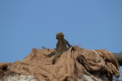 Low angle zoomed shot of an Indian Monitor Lizard looking up in the sky sitting on old jute bag in devastation concept.