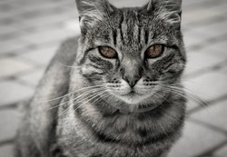 Low color photography of a gray cat with amber eyes. Wild and dangerous cat look.