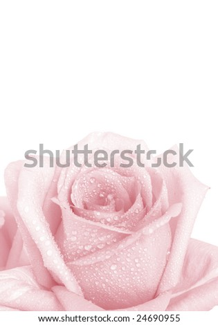 Low contrast delicate pink rose over the white background - stock photo