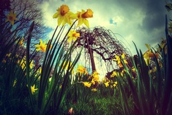 Low fisheye view of daffidils with a holga instagram filter