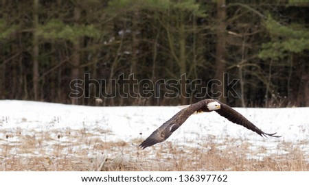 Low flying bald eagle
