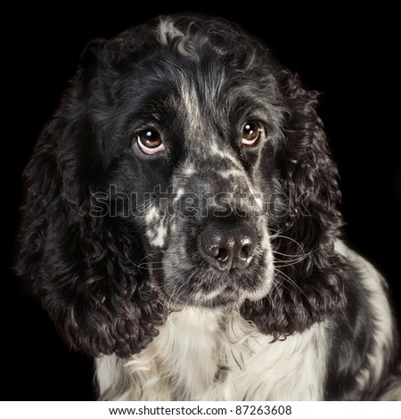 Low key portrait of a black and white english cocker spaniel