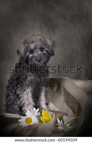 Low-key portrait of a 3 month old Schnoodle (Schnauzer/Poodle) puppy.