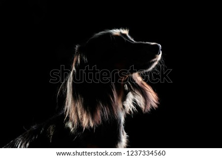 Low key silhouette of a long haired dachshund in a black studio #1237334560