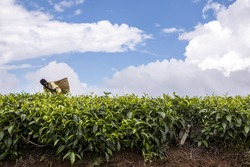 Low tea bushes growing in red soil, on plantation in Nandi Hills, Kenya. Leaves different shades of green. African woman hand picking or harvesting tea leaves. Sunny day. Blue sky. White clouds.