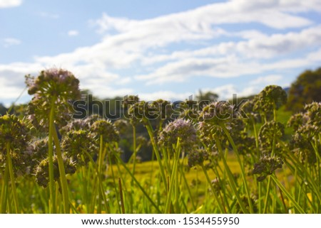 low view Chives with Flowers.  #1534455950