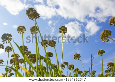 low view Chives with Flowers.  #1534962347