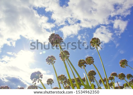 low view Chives with Flowers.  #1534962350