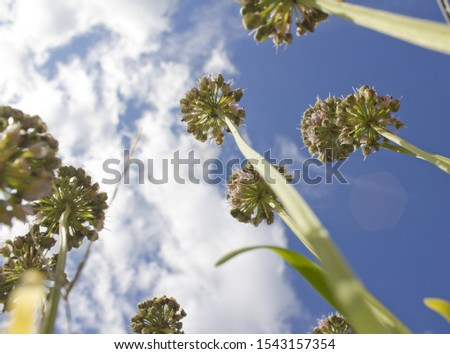 low view Chives with Flowers in the blue sky background. #1543157354