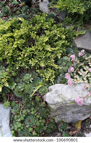 Low yellow juniper and colorful sedum varieties in rock garden provide textural and color contrasts. Vertical composition.