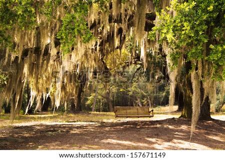 Lowcountry South Carolina Spanish Moss Drapsed Live Oak