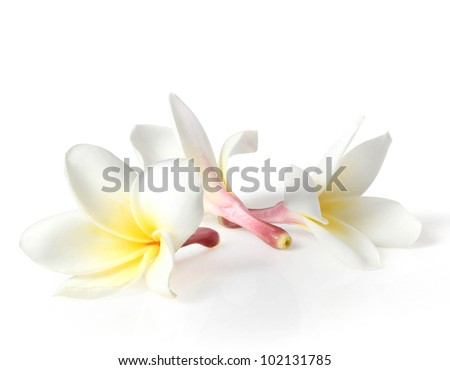 lowers frangipani  isolated on white