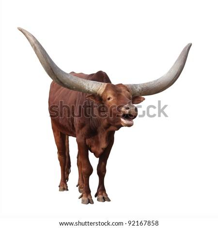 Lowing Watusi cattle