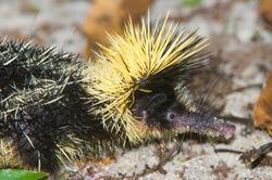 Lowland Streaked Tenrec (Hemicentetes semispinosus), Madagascar